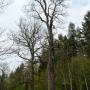 Jeden z najstarszych okazów na szlaku- Dąb Mindowe (około 400lat) a za nim młodszy (300 letni) Dąb Trojen.