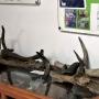 Poroża jeleni i innych zwierząt, w gablocie czaszki różnych parzystokopytnych w tym wymarłego w 1627r tura.