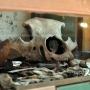 Wyjątkowy eksponat w Muzeum - czaszka tura.