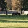 Żubr czeka na polanie...