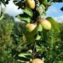 Dorodne jabłka w przydworskim sadzie.