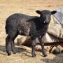 Chciałoby się przytulić taką owieczkę, niestety nie dają się.
