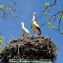 Wiosna 2012. Para bocianów prawdopodobnie przylatująca stale do tego samego gniazda.