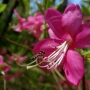 Rhododendron-różanecznik